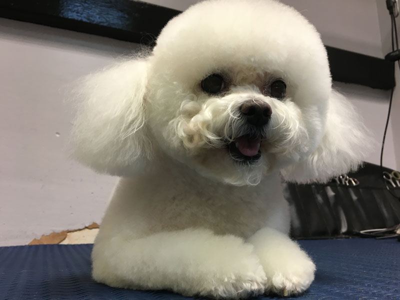 Bichon Frise groomed by Pampered Paws Glasgow