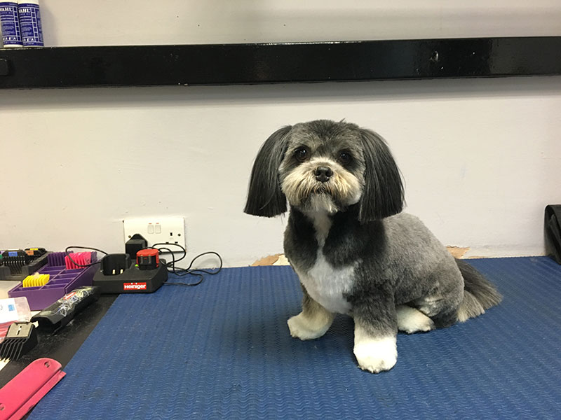 Lhasa Apso groomed by Pampered Paws Glasgow